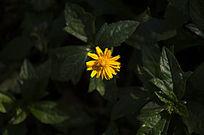 一朵野菊花