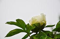 白牡丹和叶子