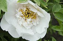 牡丹花开和花蕊