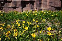 盛放的黄花