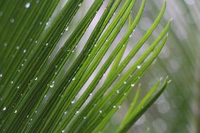 铁树叶片上垂垂欲落的水滴