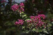 一大簇绿叶中的紫薇花