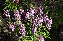 紫花苜蓿丛千屈菜