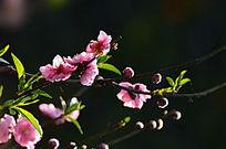红色桃花特写自然风景照片