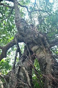 榕树树根图片,高清大图 树木枝叶素材