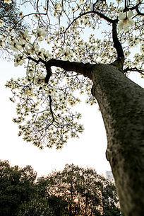 晓园公园的白花树开了