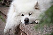 白色的小狗