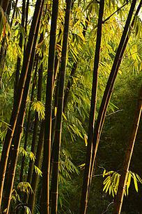 光影竹林风光图片