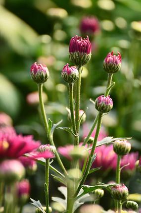 含苞待放的菊花花苞特写图片