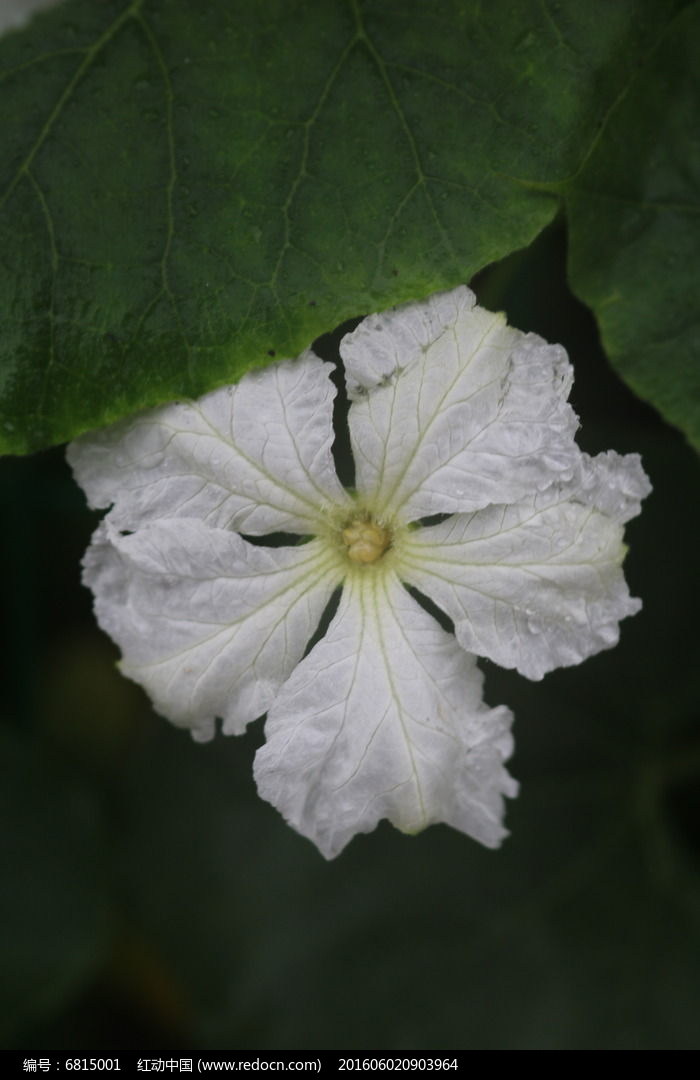 葫芦叶与花图片