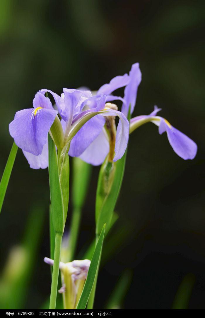 原创摄影图 动物植物 花卉花草 蓝蝴蝶花图片图片