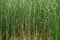 芦草草丛背景图片