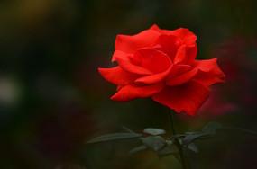 怒放的红玫瑰图片