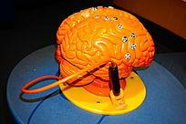 人体大脑教育