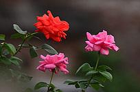 三朵唯美玫瑰花风景图片