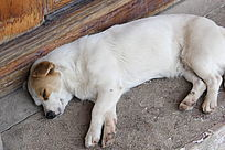 睡懒觉中的小狗