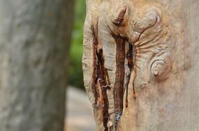 桉树树脂图片