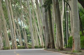 桉树与公路风景图片