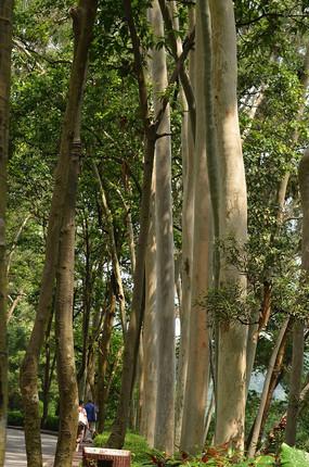 桉树自然风光图