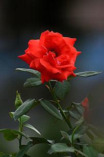 一枝独秀的红玫瑰图片