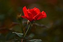 一枝盛开的火红玫瑰花图片