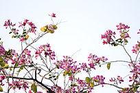 紫荆花风景白色背景图