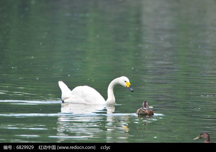 白天鹅和鸭宝宝图片,高清大图_空中动物素材