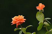 橙色玫瑰花特写暗背景图片