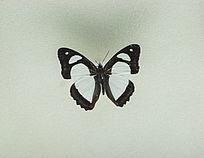 耳朵大蛱蝶