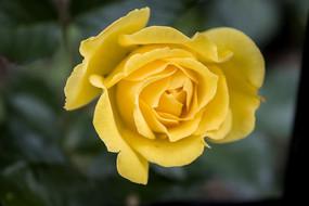 含苞待放的黄色月季