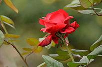 娇艳的火红色月季花风景图片