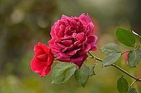 竞相开放的两朵玫瑰花图片