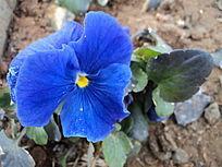 蓝色蝴蝶花