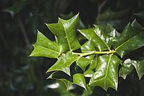 绿色的枸骨叶子