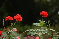 玫瑰花花卉图片