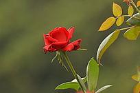 盛开的红玫瑰花花卉风景图片