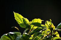 特写光影效果叶子风景图片