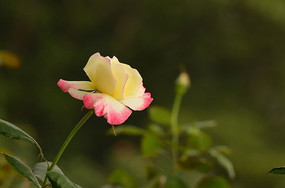 唯美粉嫩月季花花朵图