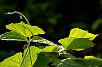 唯美绿色嫩叶光影效果暗背景风景图片