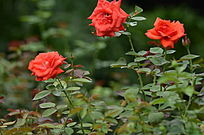 唯美玫瑰花风景图