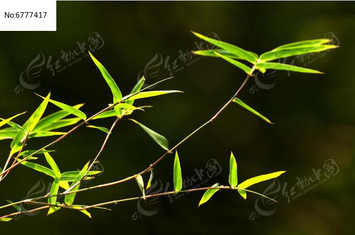 原创摄影图 动物植物 树木枝叶 唯美竹枝特写竹叶姿态风景图片