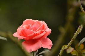 鲜艳的一朵玫瑰花特写风景图片
