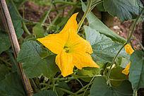 叶间的黄色南瓜花