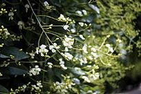 一串白色的小花朵