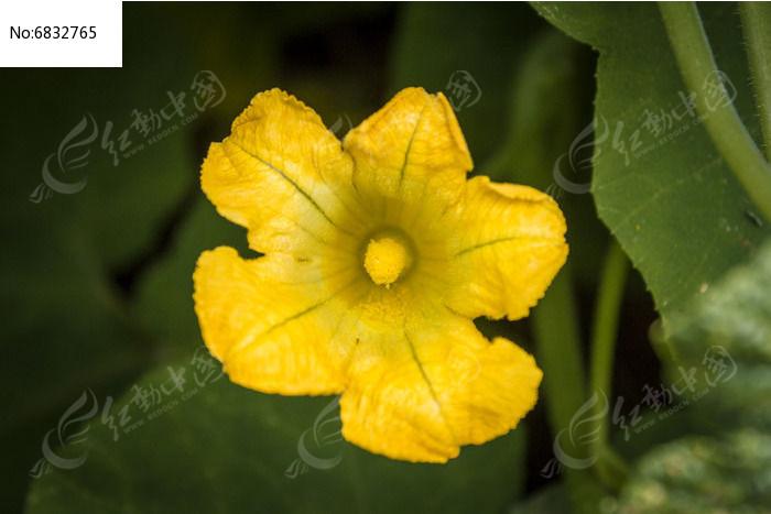 一朵黄色的南瓜花图片