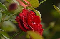 一朵玫瑰花花卉图片