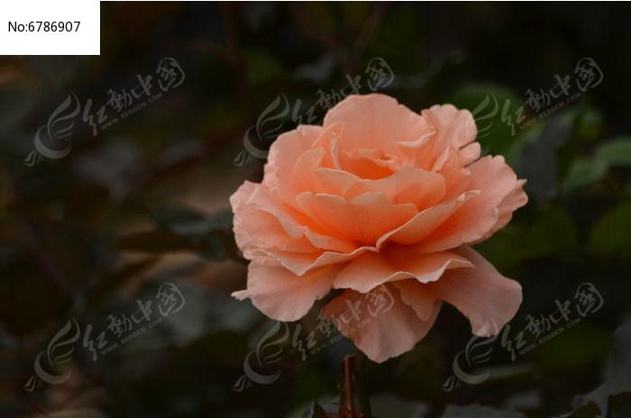 一朵怒放的粉橙色月季花风景特写图片