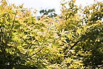 一片黄色的枫叶