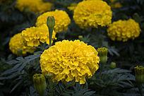 一片黄色的万寿菊