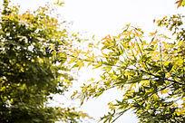 一片金色的枫叶